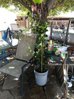 Jasmine plants for Sale in Frisco, TX
