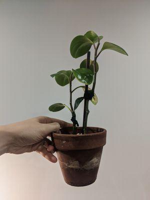 Peperomia obtusifolia plant in 4in terra cotta pot for Sale in Brooklyn, NY