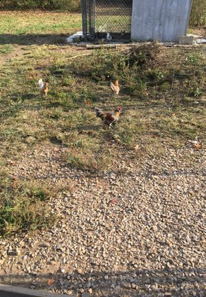 5 months just lay free range Araucana hens and 2 roosters for Sale in Pulaski, TN