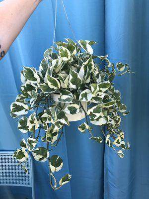 Hanging N'Joy Pothos for Sale in Azusa, CA