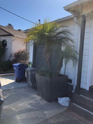 Potted Palm Tree for Sale in San Francisco, CA