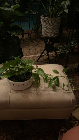 Golden Pothos trailing Ivy in white with black tribal 10 inch pot for Sale in Arlington, TX