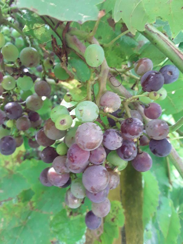 1920's Concord Grape Seeds NON GMO!