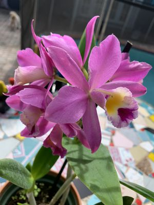 Cattleya Blc. Suisse Arbec AM/AOS for Sale in Miami, FL