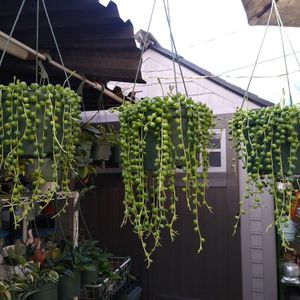 STRING OF PEARLS HANGING PLANT for Sale in Long Beach, CA