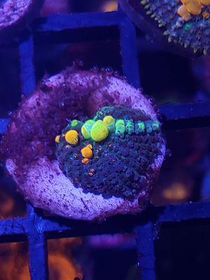 Og bounce mushroom coral for Sale in Miami, FL