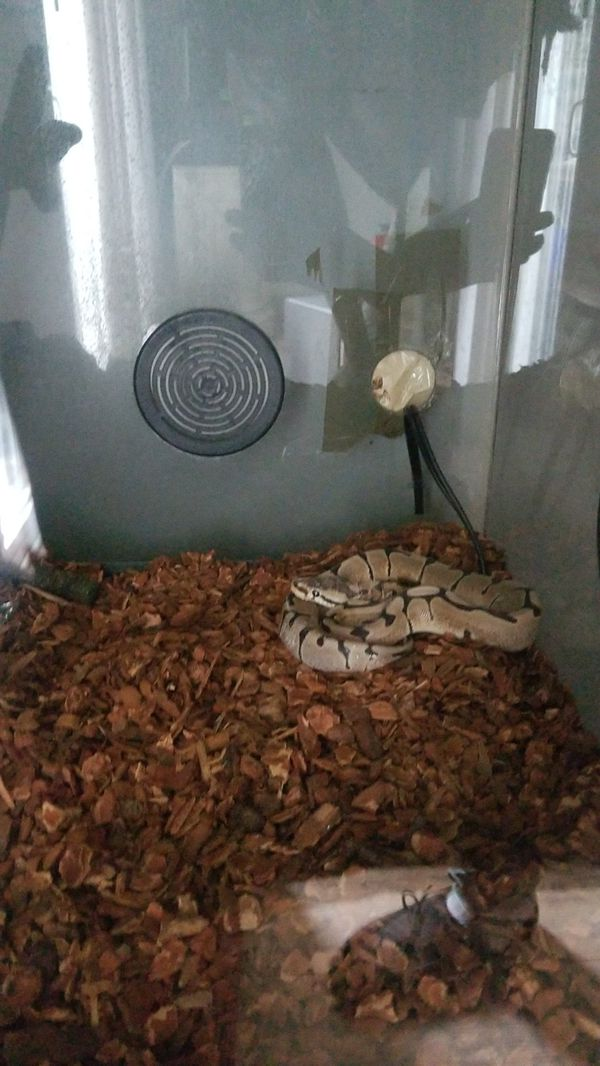 Ball python comes with cage