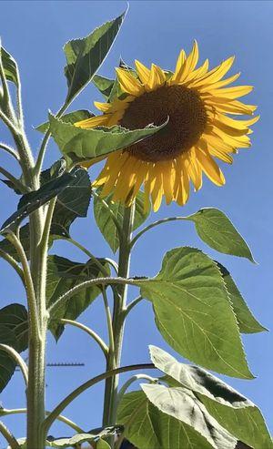 Mammoth Sunflower Seeds, Organic for Sale in San Jose, CA
