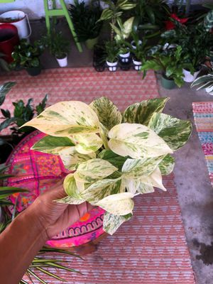 Marble Queen Pothos plant for Sale in Imperial Beach, CA