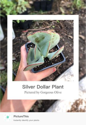 Silver Dollar succulent for Sale in Watauga, TX