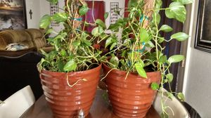 """Two- 36 in High House Plants in 17"""" W x 18"""" Dia Pots. for Sale in Biloxi, MS"""