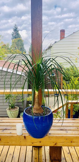 Live large indoor Ponytail Palm house plant in a ceramic planter flower pot—firm price for Sale in Tukwila, WA