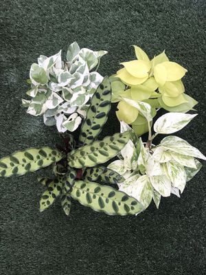 """Plants (4""""pot, Calathea rattle snake, Njoy & Marble Queen Pothos, Neon Brazil $25 all or $8 each) for Sale in San Diego, CA"""