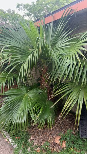Free palm just come and dig out for Sale in Houston, TX