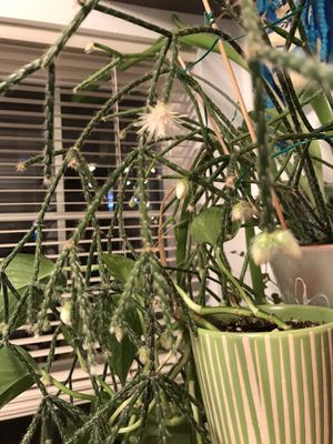 Rare Cactus Rhipsalis Pilocarpa house plant. It blooms very gently In the cool season and bears fruit. for Sale in Everett, WA