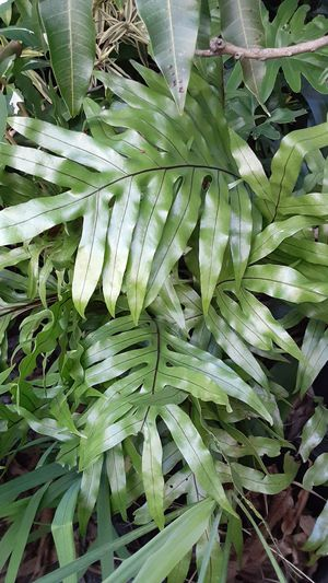 Ferns Houesplant Planscape Plant for Sale in Fort Lauderdale, FL