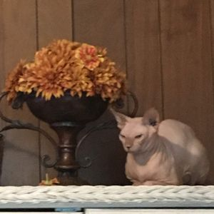 4yrs hairless cat for Sale in Seaford, DE