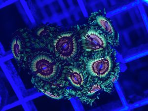 Rainbow eclipse zoa for Sale in Miami, FL