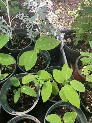 Custard apple plant asian plant 4 in pot. Young one for Sale in Ceres, CA