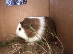 Guinea pig and cage for Sale in Atlanta, GA