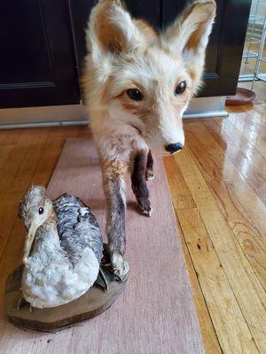 taxidermy fox & duck mount full body (Disecado) for Sale in Chicago, IL