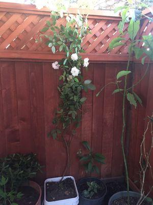 Rosal blanco for Sale in San Jose, CA