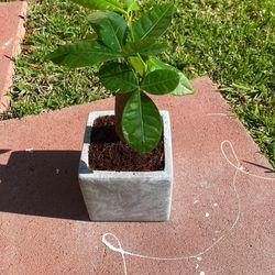 Baby Money tree for Sale in Santa Clarita,  CA