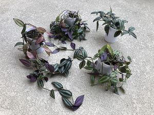 Zebrina wandering Jew plant for Sale in Rancho Cucamonga, CA