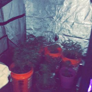 48×48×80 Mylar Hydroponic Grow Tent With All Nutrients + Cal Mag for Sale in Las Vegas, NV