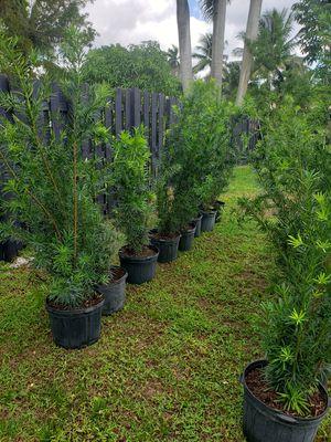 Podocarpus - 16 (7 gallons pot)(Plantation FL) for Sale in Fort Lauderdale, FL