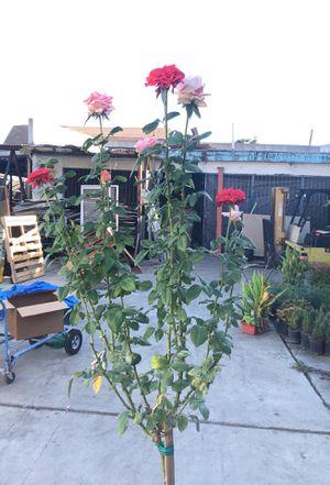 Rosal de 2 colores / 2 color rose tree / plants plantas flores flowers for Sale in Los Angeles, CA