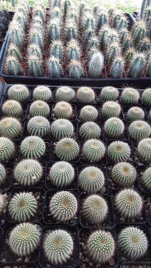 "2"" pots with cactus plants $2 each and $70 for tray of 64 for Sale in Whittier, CA"