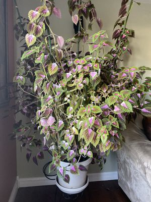 Beautiful colorful climbing vine for Sale in Northlake, IL