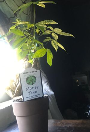 Money tree for Sale in Hollywood, FL