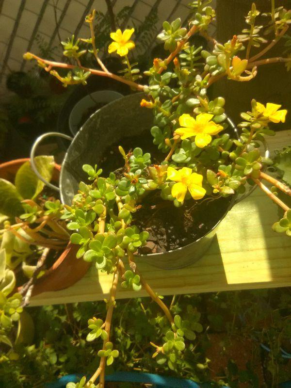 Yellow Flowers Succulents