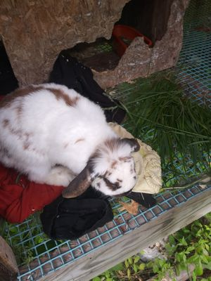 A year old loop ear rabbit for Sale in Jeffersonville, KY