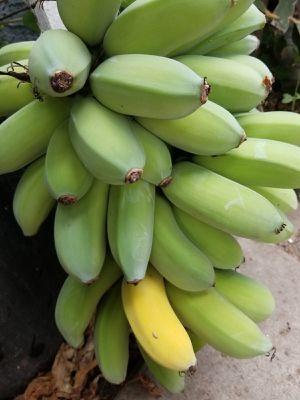 Organic Hawaiian 🌺 Type Banana 🍌 for Sale in Santa Ana, CA