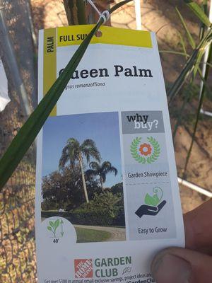 Queen palm tree for Sale in San Bernardino, CA