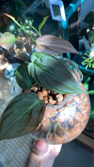 Philodendron micans for Sale in Pasadena, CA