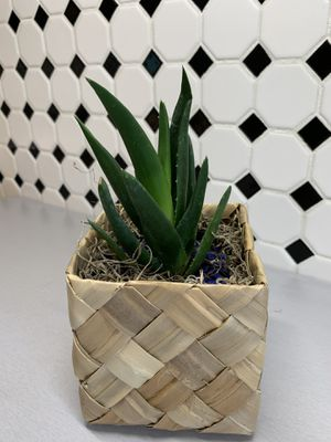 Young Aloe Vera Plant comes in a cool basket pot for Sale in Lakewood, CO