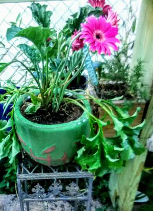 Gerbera Daisies in Terracotta for Sale in Kissimmee, FL