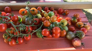 Cherry tomatoes and steak tomatoes fresh off the tree! for Sale in Cumberland, RI