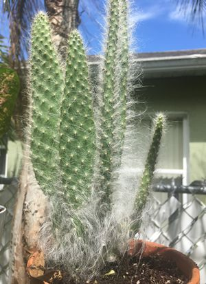 Prickly Pear Snow for Sale in Kissimmee, FL