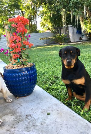 Looking for a male Rottweiler to breed with my female for Sale in Miami, FL