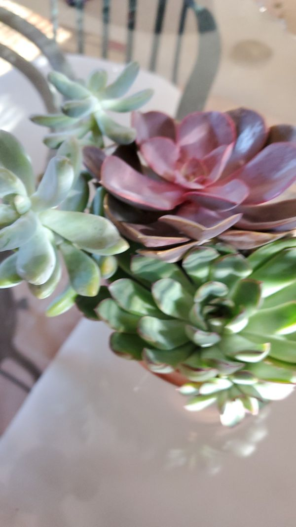 Succulents Well Established Plants
