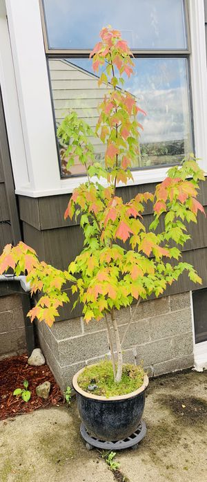 Live outdoor Seven foot plus Maple tree plant in a ceramic planter flower pot—firm price for Sale in Seattle, WA