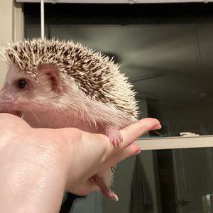 Hedgehog for Sale in Denton, TX
