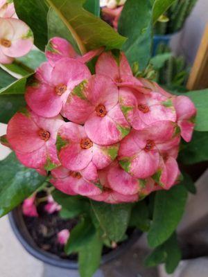 Corona de Cristo color rosa mexicano con verde for Sale in Fontana, CA
