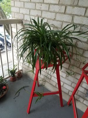 Baby Spider Plants for Sale in Rockville, MD