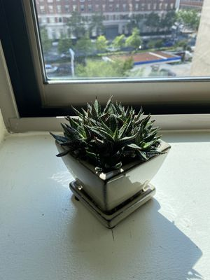 Haworthia Zebra Succulent in a Ceramic Pot for Sale in New York, NY
